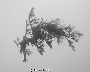 leafy seadragon by Dave Baxter