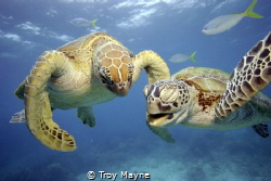 Two turtles having a laugh. Great Barrier Reef; by Troy Mayne