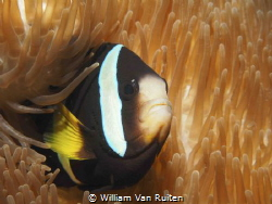 Anemonefish by William Van Ruiten
