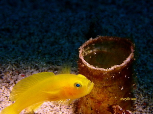 Little yellow Goby protecting it's home by Marylin Batt