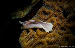Sea slark Chelidonura amoena Tungku abdul rahman sulug ... by Mr Chai