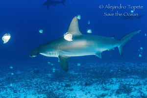 Hammerhead with cleaners, Galapagos Ecuador by Alejandro Topete