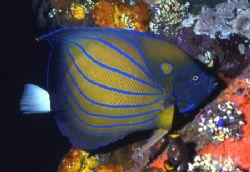 Seven Blue Ringes Angel Fish in Bali. by David Spiel
