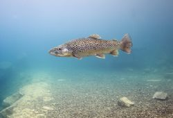 Trout. Capernwray. D200, 16mm. by Mark Thomas