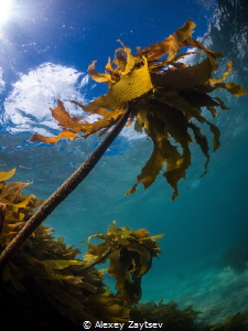Palm trees from seaweed, in cold water.