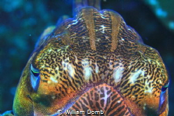 Accommodating cephalopod.   A friendly cuttlefish in Myan... by William Domb