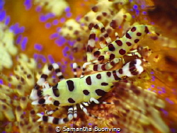 Coleman shrimps on electric sea urchin in Raja Ampat by Samantha Buonvino