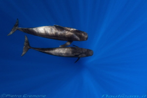 Pilot whales by Pietro Cremone