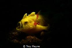 Yawning Frogfish by Troy Mayne