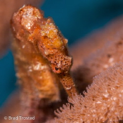Seahorse up close in Cozumel.  Canon 5D2, 100L macro, 1 ... by Brad Trostad