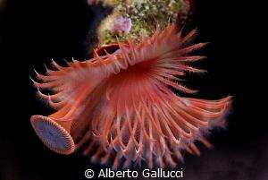 Serpula vermicularis by Alberto Gallucci