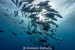 A School of Trevallies circling the Sun ! by Dominic Dallaire