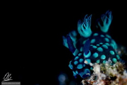 Nebrotha Cristata - A Nembrotha cristata, a kind of sea s... by Alessandro Cere