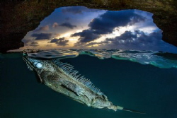 Overunder shot. A green Iguana takes a breath after an un... by Lorenzo Mittiga