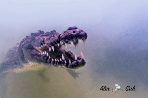 American Crocodile in Banco Chinchorro, Mexico by Alex Suh