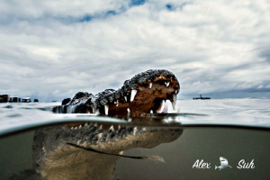 Over under image of an American Crocodile in Banco Chinch... by Alex Suh