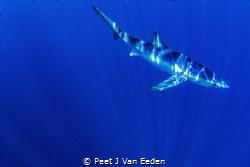 Into the Blue. A blue shark in deep blue water 30 sea mil... by Peet J Van Eeden