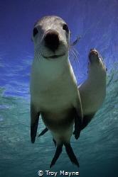 Snoopy! Australian Sealions, Western Australia by Troy Mayne