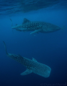 It's not that often that you see more than one whale shar... by Duncan Murrell
