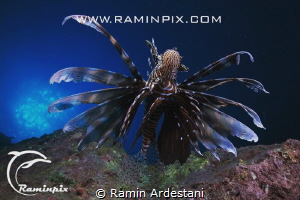 Lion Fish.. by Ramin Ardestani