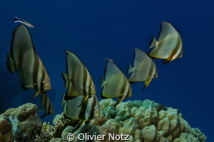 Young batfishes at cleaning station by Olivier Notz