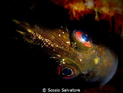 white blenny by Scozio Salvatore