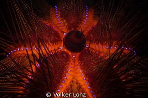 Red Diadem Seaurchin  With this glowimg seastar, i wish... by Volker Lonz
