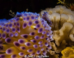 Mother and Child- The Gas flame Nudibranch family by Peet J Van Eeden