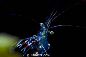 Shirimp@Night by Khaled Zaki