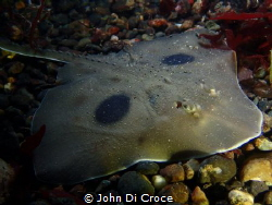 Large skate in Puget Sound by John Di Croce