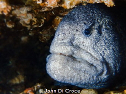 Beauty is in the eye of the beholder.  Wolf Eel in Puget ... by John Di Croce