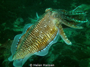 Cuttlefish Fish by Helen Hansen