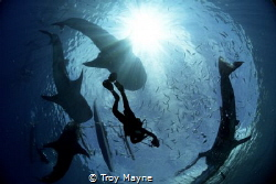Diver among whale sharks in the Philippines. by Troy Mayne