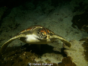 Turtle on night dive by Helen Hansen