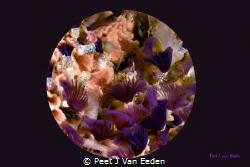 Colorful Tube Worms by Peet J Van Eeden