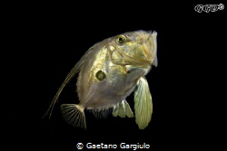 John-Dory (Zeus Faber) swimming up by Gaetano Gargiulo
