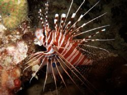 Ragged fin Lionfish on a night dive in Mabul by Alex Lim