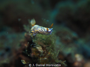 Nudibranch on the move by J. Daniel Horovatin