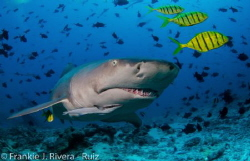 The look of a  Lemon Shark by Frankie Rivera