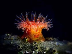 Swimming Anemone by John Di Croce