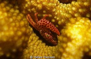 Crab 🦀 sleeping by Helen Hansen