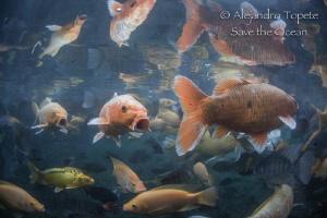 Coy Fishes, Las Estacas Mexico by Alejandro Topete