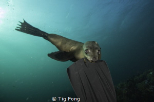 Bitten - Young Cape Fur Seal attached at my fin, Partridg... by Tig Fong