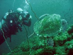 Diver and a loggerhead turtle near Phi Phi island, Thailand by Gordana Zdjelar