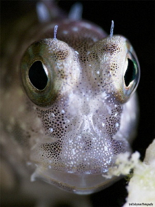Blenny from Kapalay Island by Iyad Suleyman