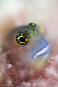 Gulf Blenny by Iyad Suleyman