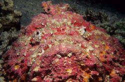 Stonefish.60mm. by Derek Haslam