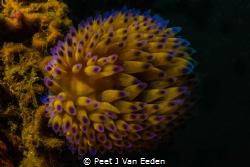 The last glow of the Year. Snooting a  Gasflame nudibranch by Peet J Van Eeden