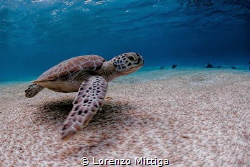 Green Turtle. It is very common to get close to sea turtl... by Lorenzo Mittiga