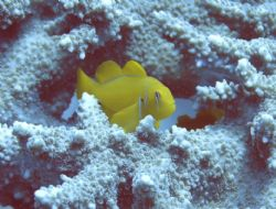 lemon coral goby by Richard Williams